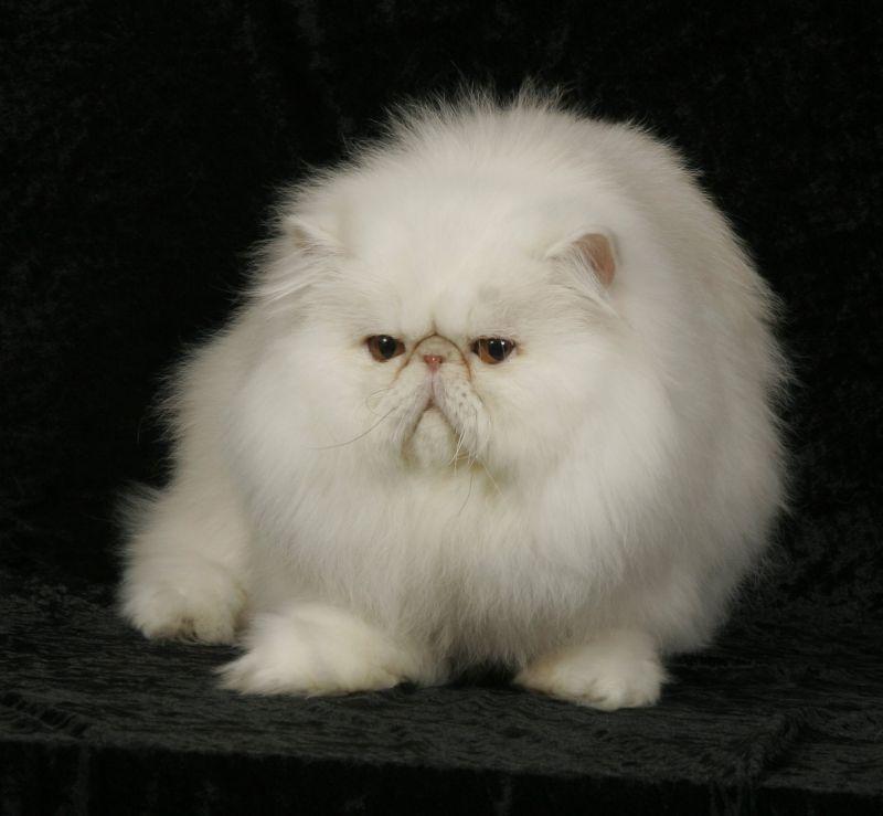 Adult Persian 103